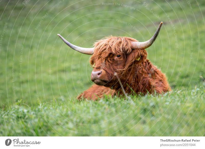 Hochlandrind Tier Nutztier Kuh 1 braun grün liegen Erholung Rind Schottisches Hochlandrind ästhetisch Horn Fell haarig Behaarung Weide Gras herzlich