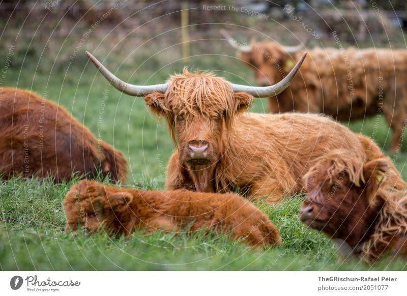 Hochlandrinder Tier Nutztier Kuh Tiergruppe Herde braun grün Horn Haare & Frisuren Baby Tierjunges Mutter Weide Gras Essen ruhen niedlich