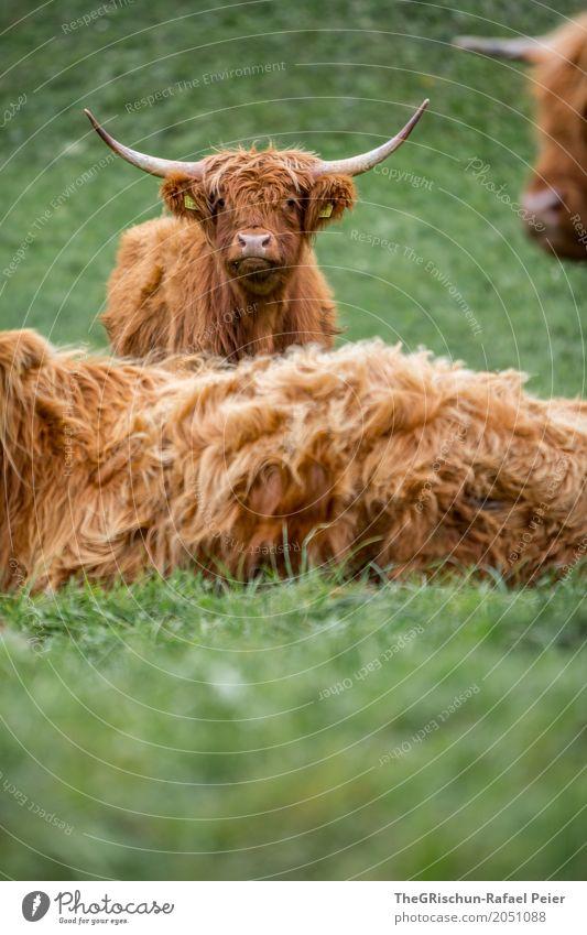Hochlandrind Tier Nutztier Kuh 3 Tiergruppe braun grün Schottisches Hochlandrind Lebewesen Tierjunges Gras Weide Horn Tierzucht Wuschelkopf strubbelig niedlich