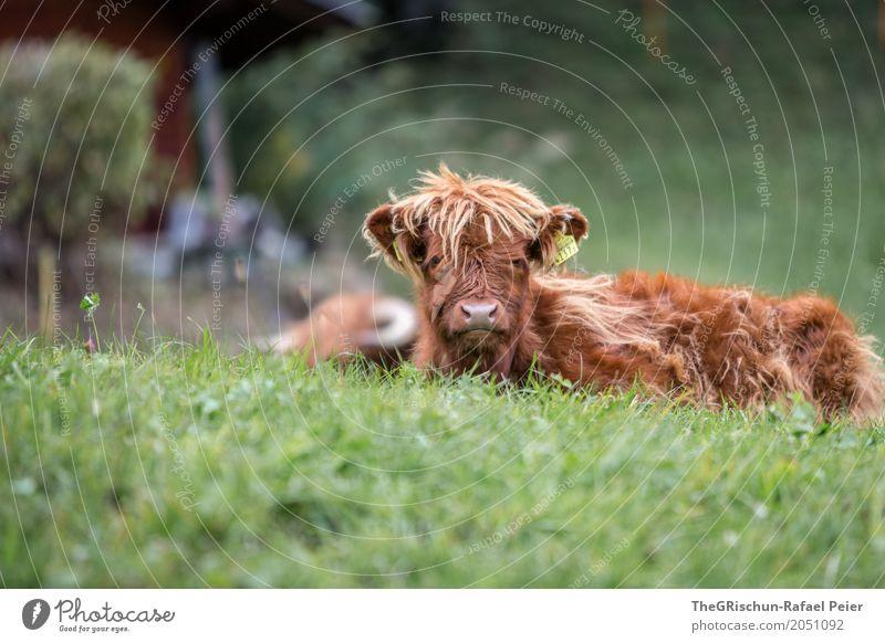 Wuschelkopf Tier Nutztier Kuh 1 braun grün Lebewesen Tierjunges Haare & Frisuren langhaarig Gras Weide liegen friedlich niedlich Fell Nase Farbfoto
