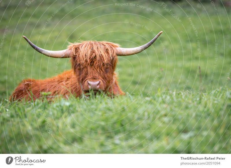 Longhorn Tier Nutztier Kuh 1 braun grün Horn Nase Wuschelkopf strubbelig Gras Weide Fressen ästhetisch niedlich friedlich Lebewesen liegen