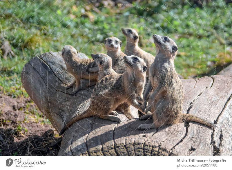 Erdmännchenfamilie auf dem Baumstamm Natur Tier Sonne Sonnenlicht Wetter Schönes Wetter Pflanze Gras Wildtier Tiergesicht Fell Krallen Pfote Tiergruppe