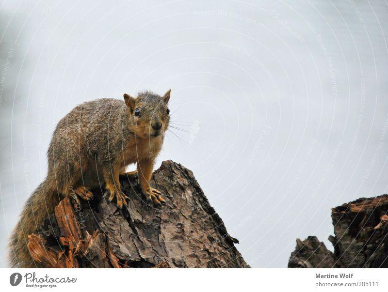 oregon squirrel II Natur Tier USA Oregon Nordamerika Wildtier Eichhörnchen 1 Holz Neugier Farbfoto Gedeckte Farben Außenaufnahme Menschenleer