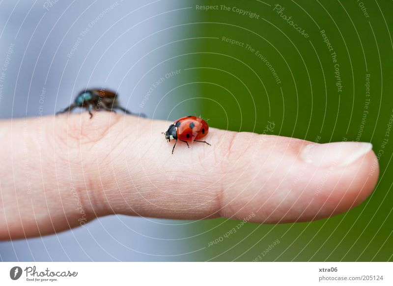 hubert III. vs. hubert IV. Tier Finger Hand berühren Marienkäfer Käfer Fingernagel krabbeln Mensch Mittelfinger Fingerkuppe
