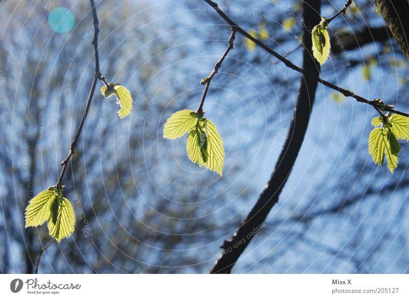der Frühling ist daaa Natur Baum Blatt Beginn frisch Ast Zweig Blattknospe grünen