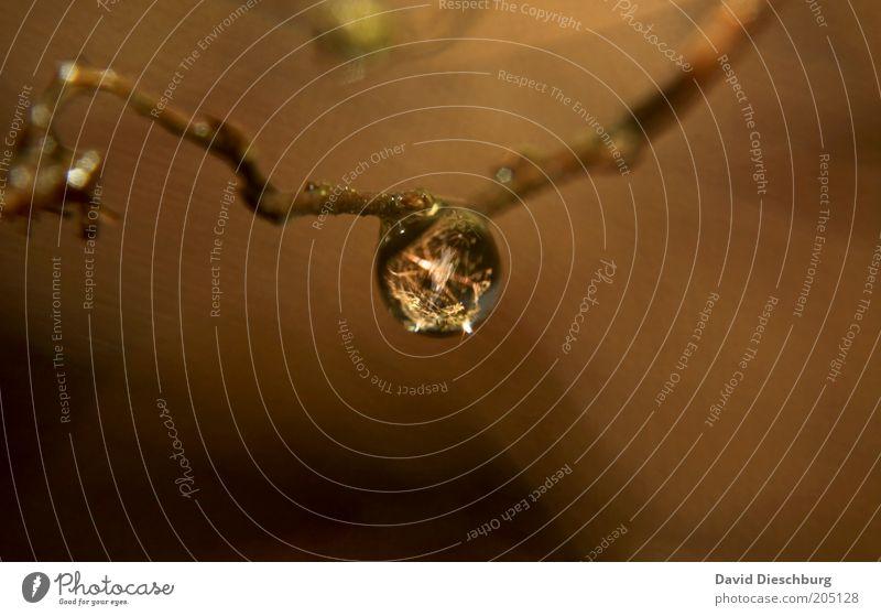 Eine Träne für England Leben harmonisch Umwelt Natur Pflanze Wassertropfen braun feucht Tau glänzend rund Farbfoto Nahaufnahme Detailaufnahme Makroaufnahme Tag
