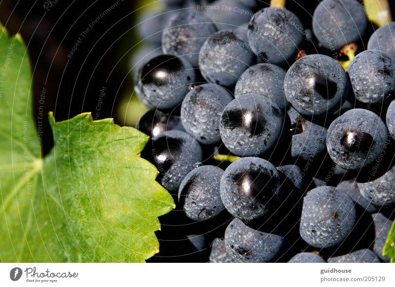 "Traube des Aglianico Natur Pflanze Herbst Nutzpflanze gut blau grau grün ""Aglianico Trauben Weintrauben,"" ""Süditalien Campania Basilikata Wein"" Landwirtschaft"