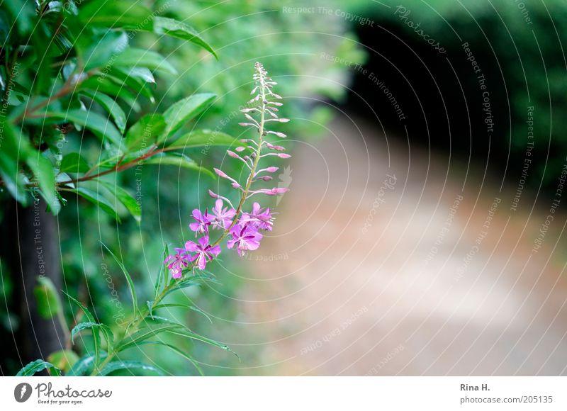 Der Weg Umwelt Natur Pflanze Blüte Wildpflanze authentisch natürlich wild grün violett ruhig Wege & Pfade Farbfoto Menschenleer Schwache Tiefenschärfe