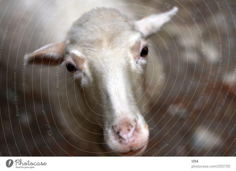Oh, wie süß.. Ein Schaf.. Nutztier 1 Tier Neugier Farbfoto Außenaufnahme Tag Starke Tiefenschärfe Tierporträt Blick in die Kamera Kopf Viehzucht Nahaufnahme