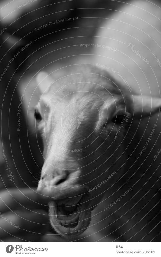 Handzahm Nutztier 1 Tier lecker Starke Tiefenschärfe Tierporträt Schaf Kopf Nahaufnahme füttern Fressen Schwarzweißfoto Viehzucht Landwirtschaft