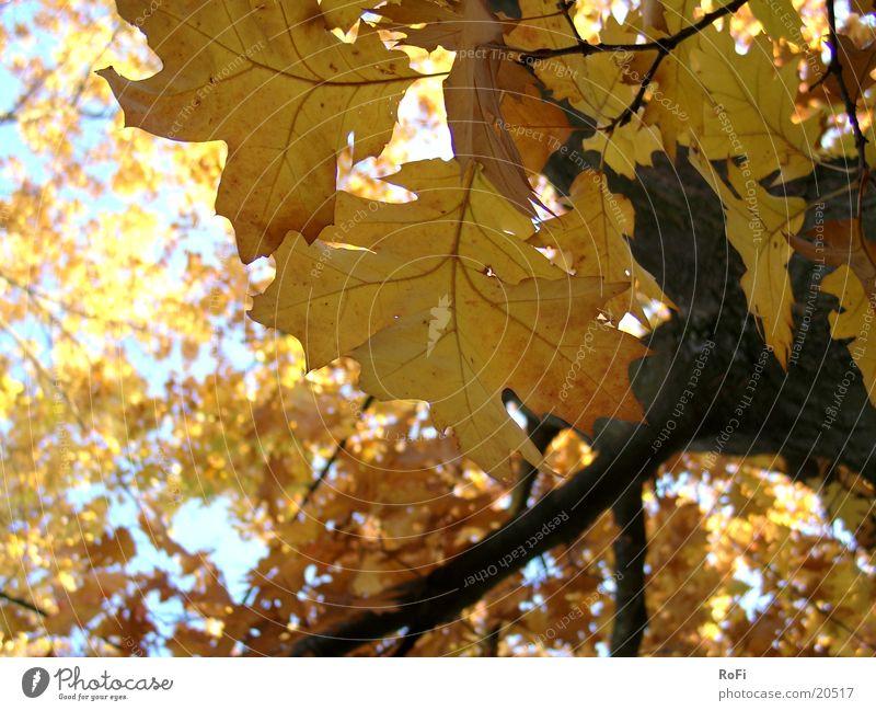 Herbstlaub Blatt Baum Eiche Wald