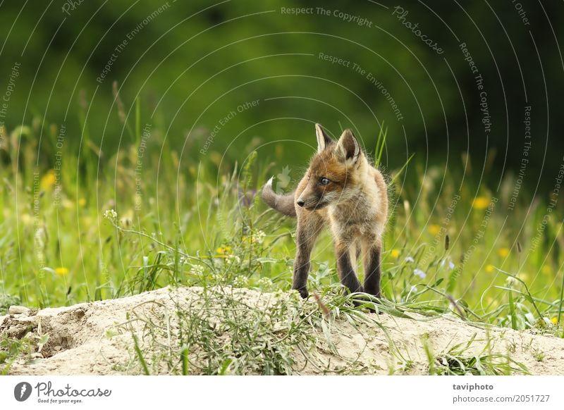 Nettes Fuchsjunges nahe dem Bau schön Baby Jugendliche Umwelt Natur Tier Gras Wald Pelzmantel Hund Tierjunges klein natürlich niedlich wild braun grün rot