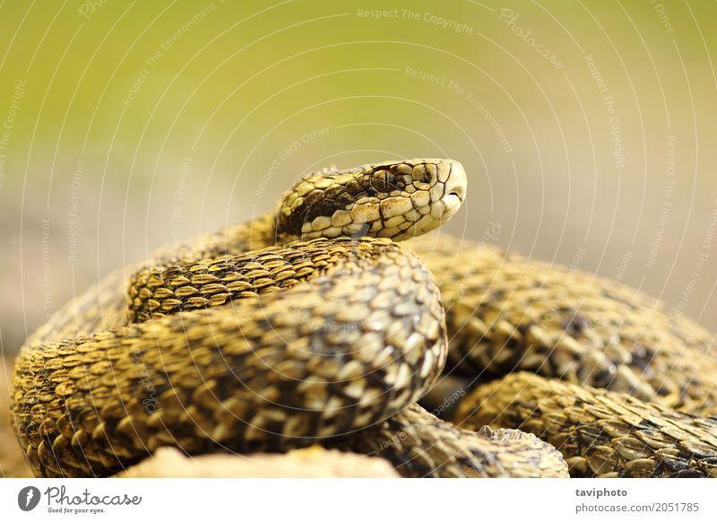 schwer fassbare Wiesenotter schön Frau Erwachsene Natur Tier Schlange klein wild braun Angst gefährlich Farbe Natter Vipera ursinii Rakkosiensis Reptil giftig