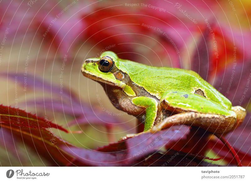 Europäischer grüner Baumfrosch auf Blättern schön Garten Finger Umwelt Natur Pflanze Tier Blatt Park Wald stehen klein natürlich niedlich wild rot Farbe Hyla
