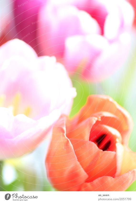 Colourflash Lifestyle Design exotisch Kosmetik Leben harmonisch Muttertag Ostern Geburtstag Natur Frühling Sommer Pflanze Blume Tulpe Blüte Garten Park Bewegung