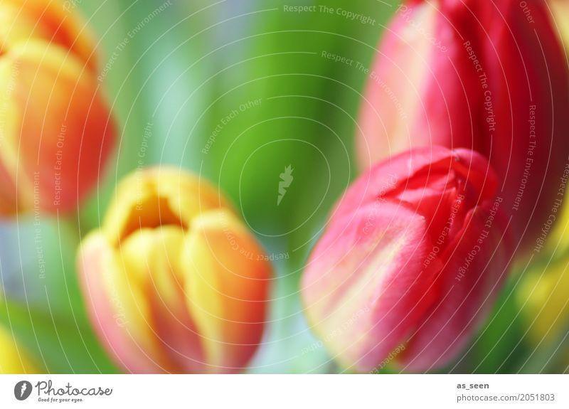 Tulpenblüten Lifestyle Design exotisch Glück Valentinstag Muttertag Ostern Geburtstag Natur Pflanze Frühling Sommer Blume Garten Park Niederlande Blühend