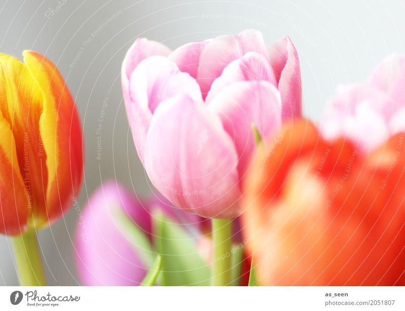 Colourful Tulips Design exotisch Kosmetik Wellness Leben harmonisch Dekoration & Verzierung Feste & Feiern Muttertag Ostern Geburtstag Natur Frühling Sommer