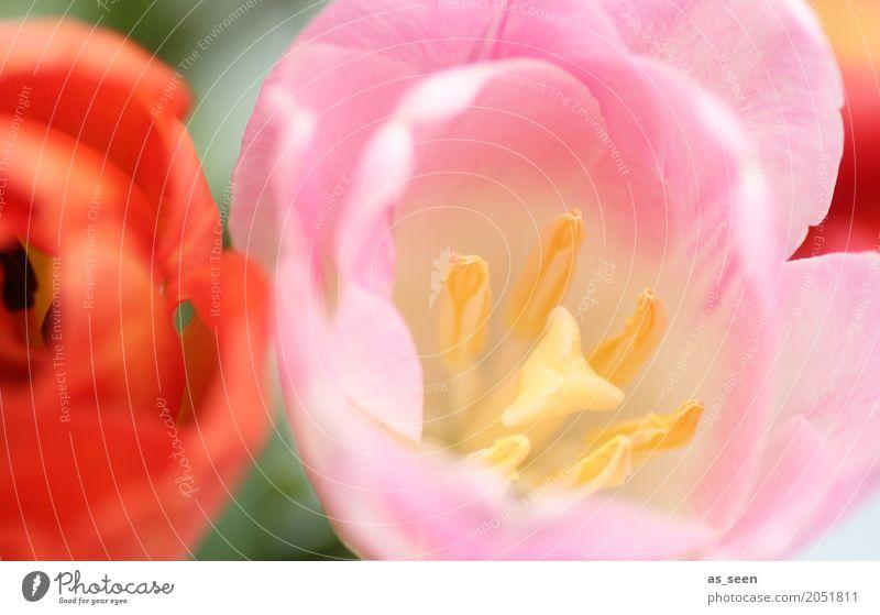 Frühling schön Wellness Leben harmonisch Duft Muttertag Ostern Geburtstag Natur Pflanze Sommer Blume Tulpe Stempel Staubfäden Blütenblatt Blumenstrauß Blühend