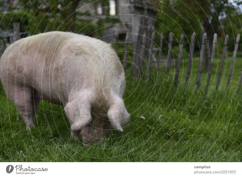 Dickes Schwein Natur Ferien & Urlaub & Reisen Sommer Tier Umwelt Wiese Garten Lebensmittel Ausflug Feld Ernährung Landwirtschaft Sommerurlaub Bauernhof