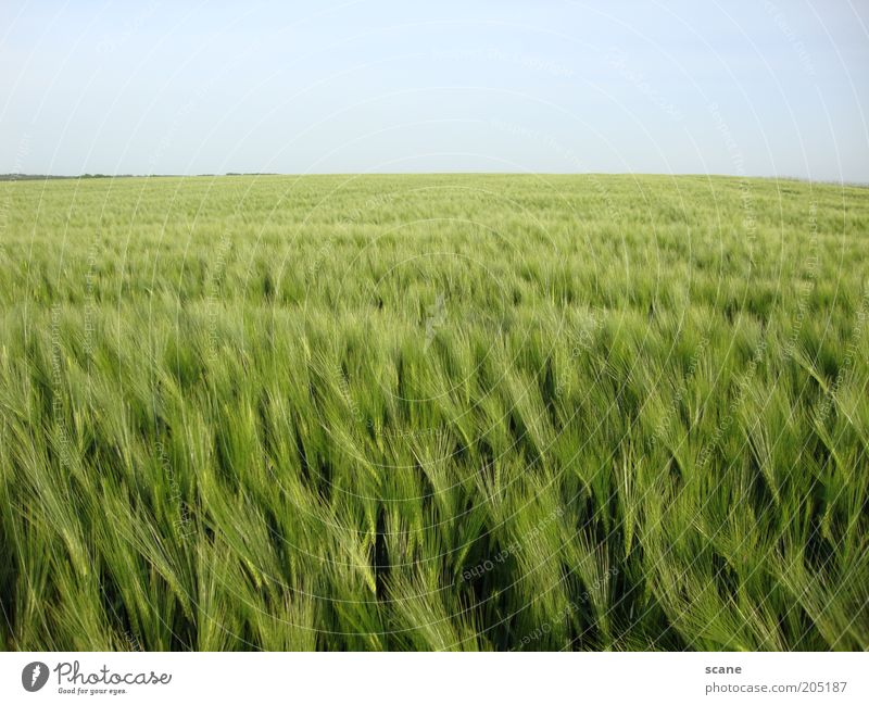 Kornfeld Landschaft Himmel Wolkenloser Himmel Sonnenlicht Frühling Schönes Wetter Wiese Feld Ferne Unendlichkeit hell blau grün Farbe Frieden Idylle Natur