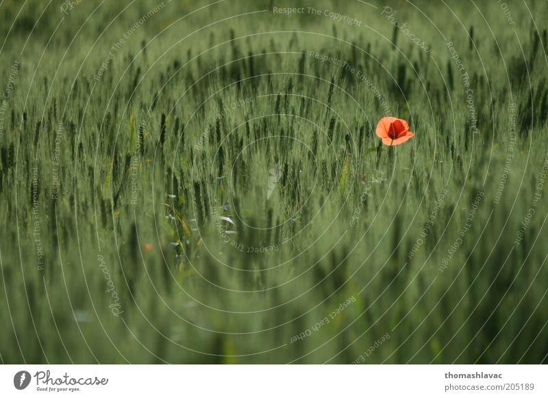 Getreidefeld Umwelt Natur Pflanze Frühling Schönes Wetter Blume Nutzpflanze Wildpflanze Mohnblüte Feld grün Farbfoto Außenaufnahme Detailaufnahme Menschenleer