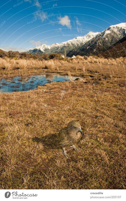 New Zealand 133 Umwelt Natur Landschaft Urelemente Himmel Schönes Wetter Gras Urwald Felsen Vogel kea Papageienvogel Tier beobachten ästhetisch außergewöhnlich