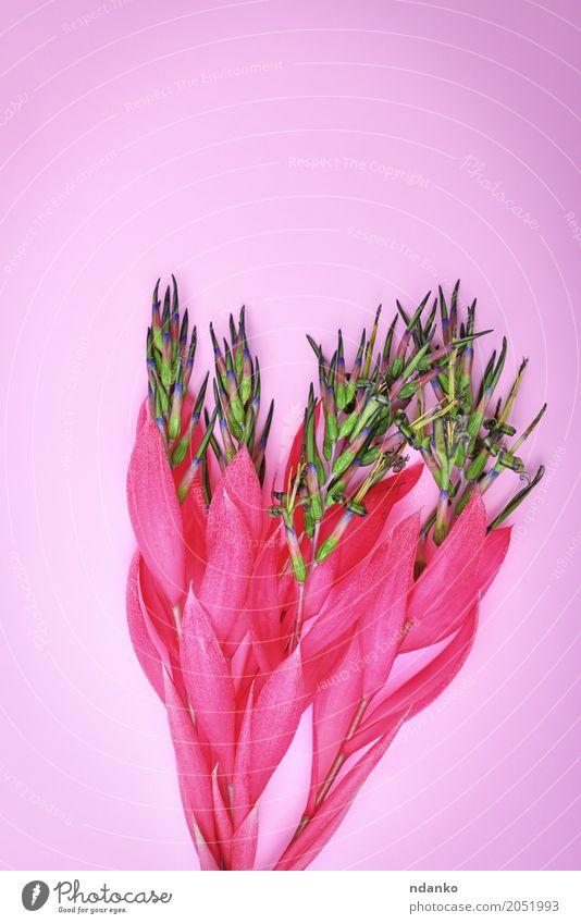 rosa Blume von Billbergia Valentinstag Muttertag Ostern Geburtstag Pflanze Blüte Blumenstrauß Feste & Feiern Liebe frisch hell natürlich Überstrahlung geblümt
