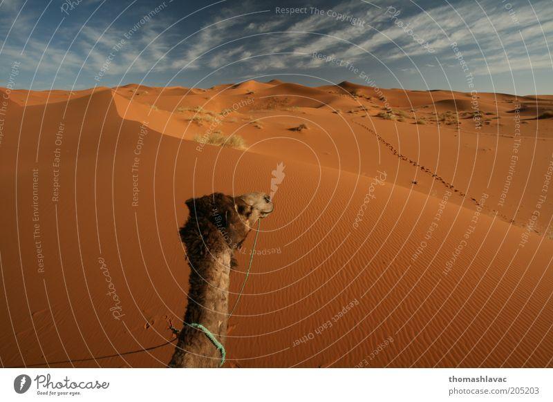 Sahara-Wüste in Marokko Umwelt Natur Landschaft Sand Himmel Wolken Sonnenlicht Schönes Wetter Wärme Dürre Tier Nutztier Camel 1 Ferien & Urlaub & Reisen Düne