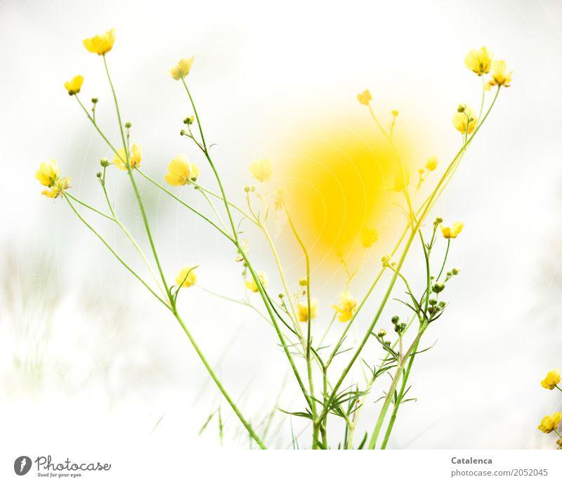 Gelb Natur Pflanze Himmel Wolken Frühling Blume Blatt Blüte Wildpflanze Hahnenfuß Sumpf-Dotterblumen Garten Wiese Blühend ästhetisch gelb grau grün weiß