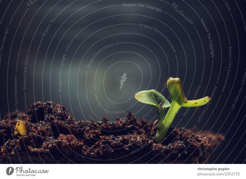 Wenn ich groß bin, werde ich Radieschen Umwelt Natur Pflanze Grünpflanze Nutzpflanze Topfpflanze Garten Feld Blühend Wachstum zart Jungpflanze Baumschössling