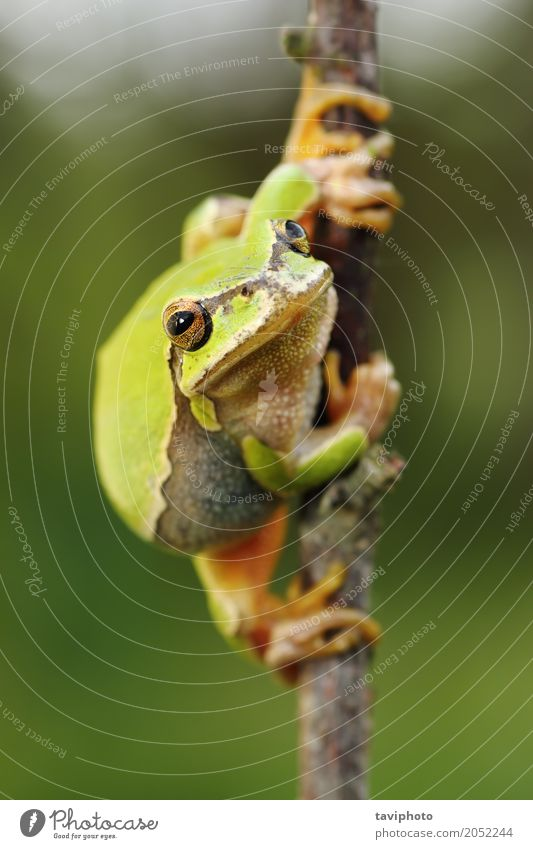 Süßer europäischer grüner Baumfrosch schön Haut Klettern Bergsteigen Umwelt Natur Tier beobachten sitzen klein natürlich niedlich wild Farbe satt Länge Frosch