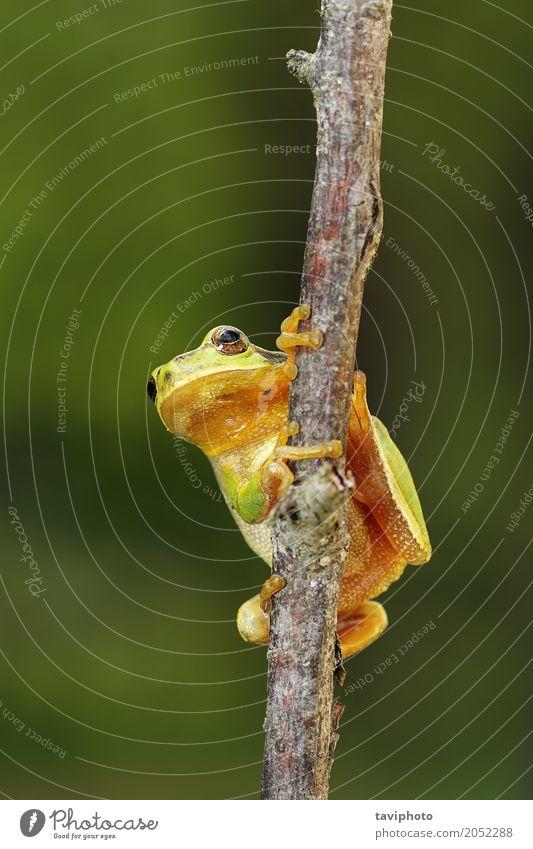 kleiner Baumfrosch, der auf einer Niederlassung klettert schön Garten Klettern Bergsteigen Umwelt Natur Tier Wald natürlich niedlich wild grün Farbe Europäer