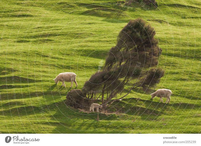 New Zealand 155 Umwelt Natur Frühling Pflanze Baum Gras Wiese Hügel Insel Neuseeland Nutztier Schaf Herde Tierjunges Tierfamilie Zufriedenheit gefräßig Farbfoto