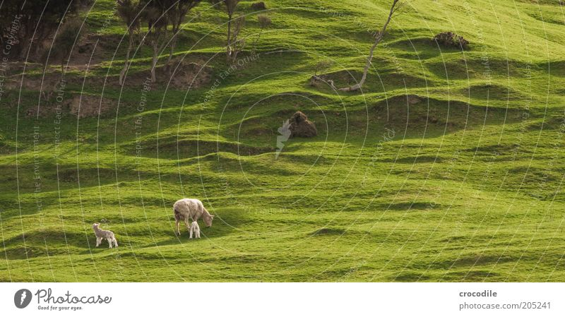 New Zealand 156 Umwelt Natur Frühling Pflanze Baum Gras Sträucher Wiese Hügel Insel Neuseeland Nutztier Schaf Herde Tierjunges Tierfamilie Zufriedenheit