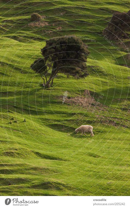 New Zealand 158 Umwelt Natur Frühling Pflanze Baum Gras Wiese Hügel Insel Neuseeland Nutztier Schaf Zufriedenheit Fernweh gefräßig Farbfoto Licht Schatten