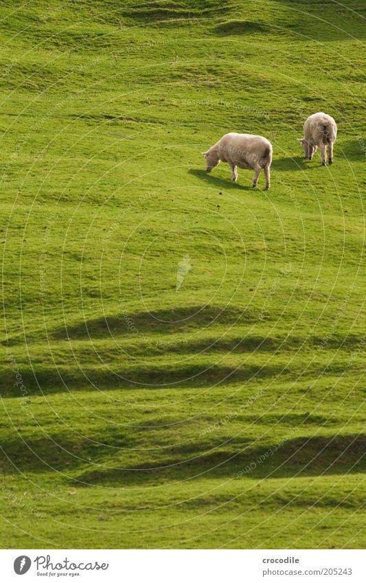 New Zealand 157 Umwelt Natur Frühling Pflanze Baum Gras Wiese Hügel Insel Neuseeland Nutztier Schaf Herde Zufriedenheit gefräßig Farbfoto Licht Schatten