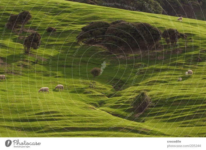 New Zealand 159 Umwelt Natur Frühling Pflanze Baum Gras Sträucher Wiese Hügel Felsen Insel Neuseeland Nutztier Schaf Herde Tierjunges Tierfamilie Zufriedenheit