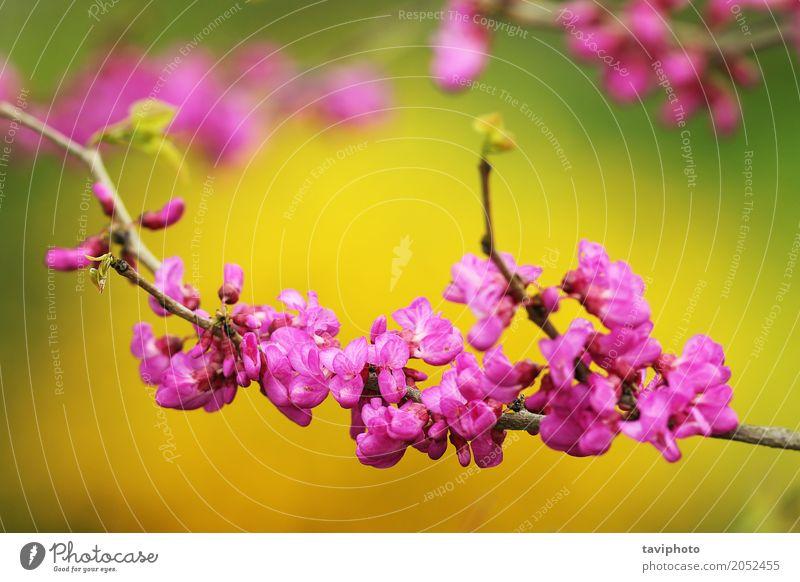 japanischer Kirschbaumzweig in der Blüte schön ruhig Garten Dekoration & Verzierung Natur Pflanze Frühling Baum Blume Blühend frisch hell natürlich rosa Farbe