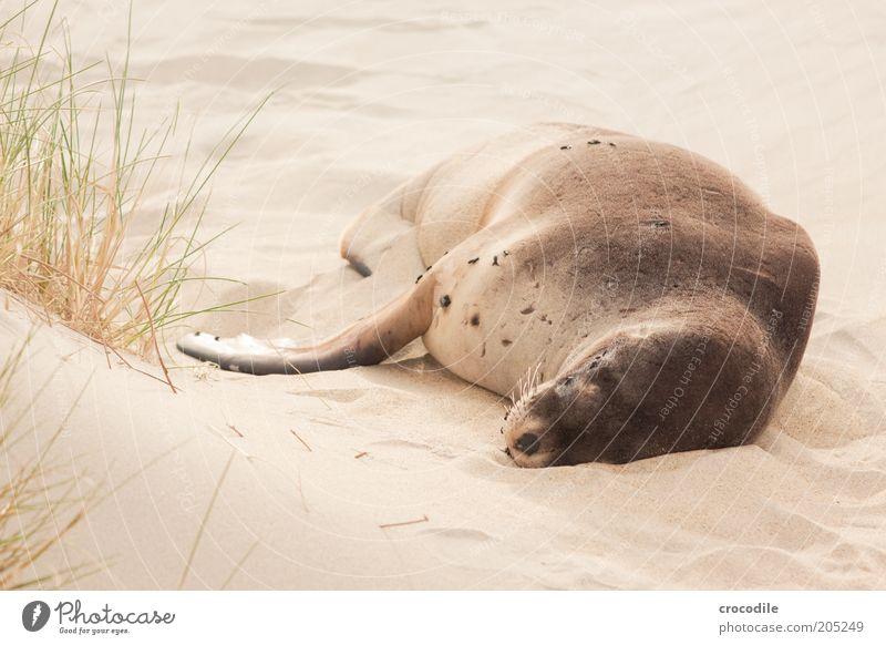 New Zealand 161 Umwelt Natur Sand Küste Strand Insel Neuseeland Tier Wildtier Robben außergewöhnlich natürlich Zufriedenheit Müdigkeit Erschöpfung Farbfoto