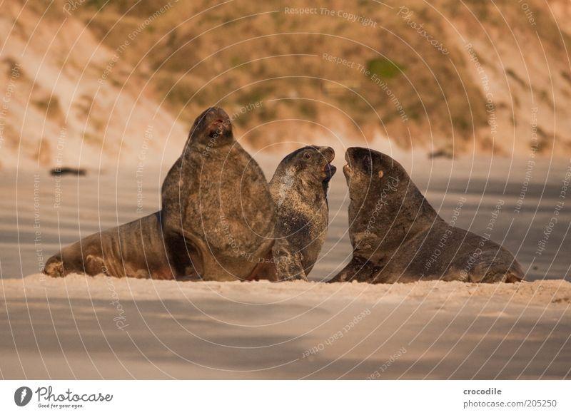 New Zealand 162 Totale Abend Außenaufnahme Gedeckte Farben Menschenleer Tiergruppe 3 Farbfoto Blick liegen bedrohlich außergewöhnlich Seelöwe Wildtier