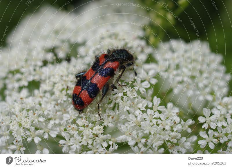Das Grosse Fressen 1 weiß Pflanze rot Sommer schwarz Tier Blüte Flügel Wildtier Käfer krabbeln gestreift Insekt Makroaufnahme Wildpflanze Gemeiner Bienenkäfer
