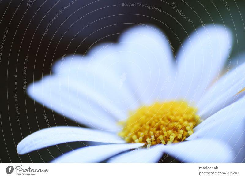 Margerite Natur schön Blume Pflanze Sommer Gefühle Blüte Frühling Frieden Duft Margerite Blütenblatt Makroaufnahme