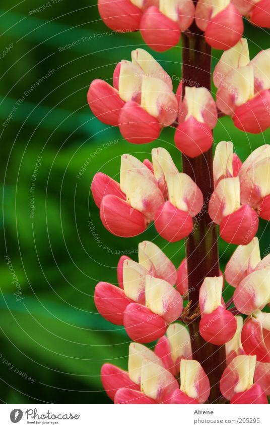 Lupine mehrstöckig weiß Blume grün Pflanze Blüte rosa Blühend