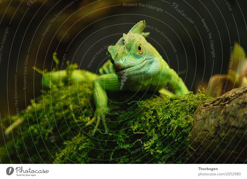 Stirnlappenbasilisk Tier Wildtier Schuppen Krallen Zoo Echsen 1 braun gelb grün Farbfoto Innenaufnahme Menschenleer Textfreiraum links Textfreiraum rechts
