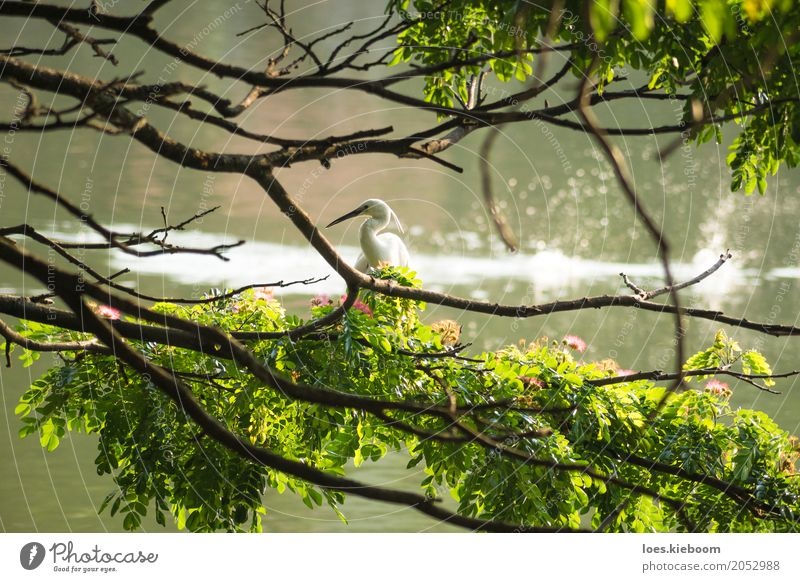 white bird along a lake Getränk Natur Frieden Sri Lanka Asien tree branches Kandy wildlife peaceful holy water animal feather pond one sun great aquatic