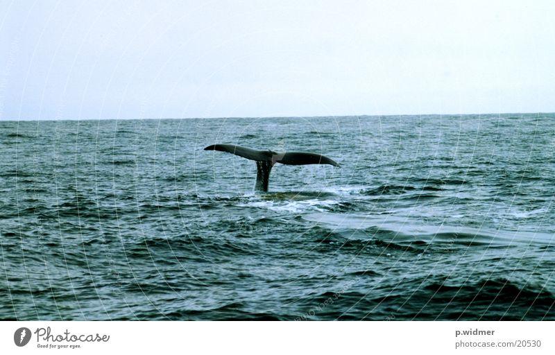pottwal Pottwal Meer Wal Fluke Meeressäuger