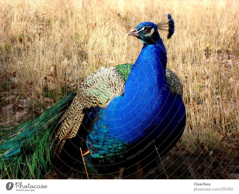 Hübscher Kerl Natur schön grün blau Tier Vogel Tiergesicht Wildtier Stolz Hochmut eitel Pfau Licht