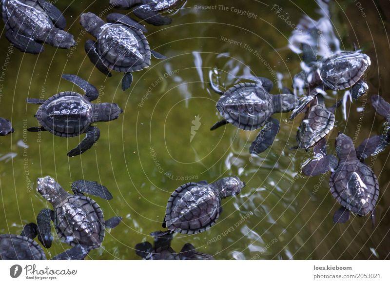 baby turles black on green Leben Ferien & Urlaub & Reisen Natur Freude ruhig Sri Lanka Asien Island Galle olive ridley turtles water young Hintergrundbild