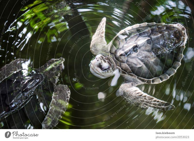 turtle balett Leben Ferien & Urlaub & Reisen Natur Kraft Weisheit Sri Lanka Asien Galle turtles animals black olive ridley water young Hintergrundbild wild