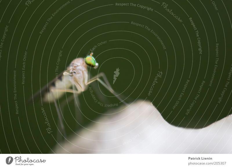 Alien [4] Natur Tier Wildtier 1 klein schön Stechmücke anschaulich grün Außerirdischer stechen Insekt langbeinfliege Farbfoto Makroaufnahme Menschenleer